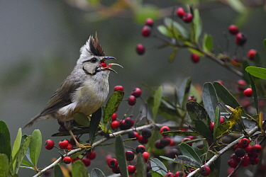 Taiwan yuhina ( Yuhina brunneiceps ) feeding on berries of Formosan firethorn , Taiwan. Endemic.