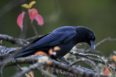 Large-billed crow (Corvus macrorhynchos) in decidious tree with autumn colours, Taiwan.