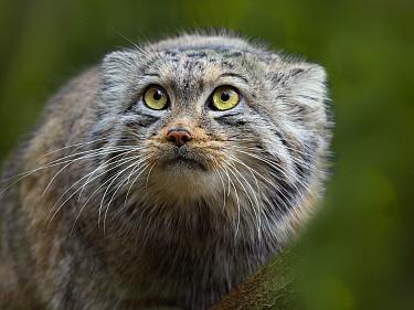 Pallas's cat (Otocolobus manul) portrait. Captive.