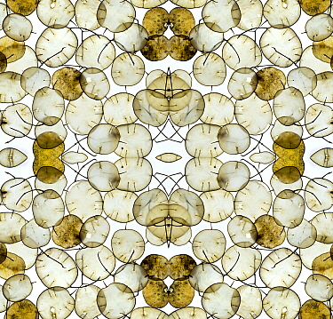 RF - Kaleidoscopic pattern of Annual honesty (Lunaria annua) seed heads. (This image may be licensed either as rights managed or royalty free.)