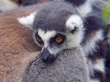 Ring-tailed lemur (Lemur catta) resting. Captive.