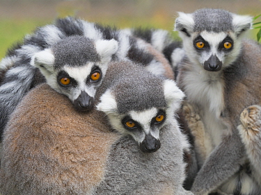 RF - Ring-tailed lemur (Lemur catta) group huddled together. Captive. (This image may be licensed either as rights managed or royalty free.)