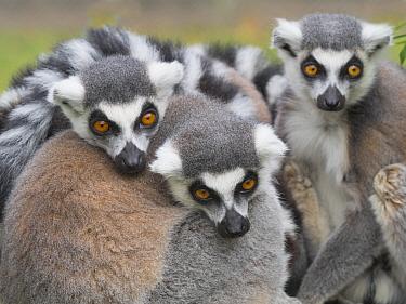 Ring-tailed lemur (Lemur catta) group huddled together. Captive.