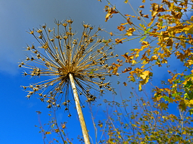 RF - Looking up at Allium seedhead with autumn leaves in background. September. (This image may be licensed either as rights managed or royalty free.)