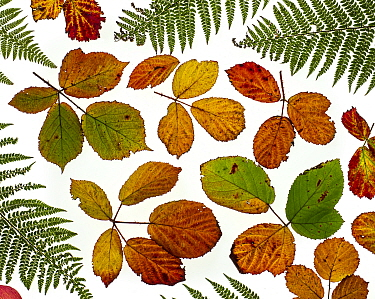 Arrangement of Bramble leaves (Rubus fruticosus) changing colour in autumn with Bracken