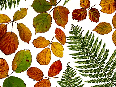 Arrangement of Bramble leaves (Rubus )changing colour in autumn with Bracken