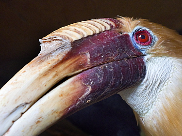RF - Close up of Blyth's hornbill (Rhyticeros plicatus) male. Captive. (This image may be licensed either as rights managed or royalty free.)