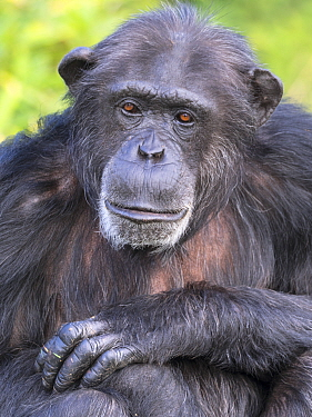 RF - Chimpanzee (Pan troglodytes) portrait. Captive. (This image may be licensed either as rights managed or royalty free.)