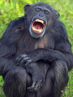 RF - Chimpanzee (Pan troglodytes) yawning. Captive. (This image may be licensed either as rights managed or royalty free.)