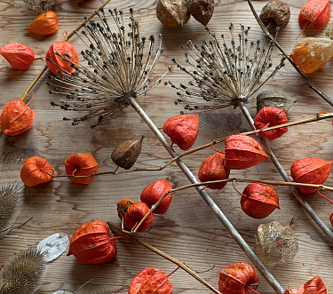 RF - Arrangement of Chinese Lanterns (Physalis alkekengi) and Allium seedheads. (This image may be licensed either as rights managed or royalty free.)