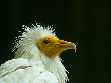 RF - Egyptian vulture (Neophron percnopterus) head portrait. Captive bird (This image may be licensed either as rights managed or royalty free.)