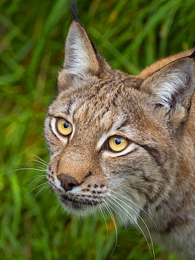 RF - Eurasian lynx (Lynx lynx) portrait. Captive. (This image may be licensed either as rights managed or royalty free.)