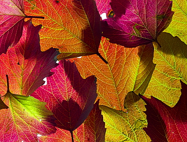 RF - Autumn leaves of Guelder Rose (Viburnum opulus). (This image may be licensed either as rights managed or royalty free.)
