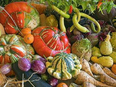 RF - Home-grown fruit and vegetables on display for a harvest festival. (This image may be licensed either as rights managed or royalty free.)