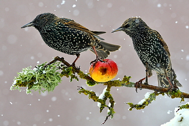 Starlings (Sturnus vulgaris), adults perched on branch in winter feeding on apple. Lorraine France. 3rd Prize in the Melvita Nature Images Awards competition 2013.