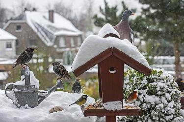 Common starlings (Sturnus vulgaris), European robin (Erithacus rubecula), Great tit (Parus major), Wood pigeon (Columba palumbus) and Blackbird (Turdus merula) at bird feeder in garden during snow sho...