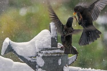Common starling (Sturnus vulgaris) fighting with Common blackbird (Turdus merula) female in garden during snow shower in winter, Belgium, January.