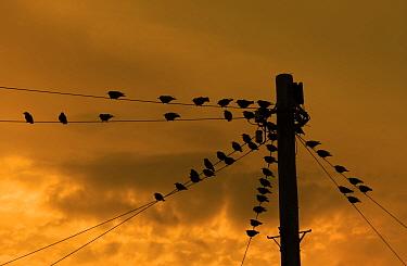 *** Starlings (Sturnus vulgaris) on power lines at sunset, UK, October.