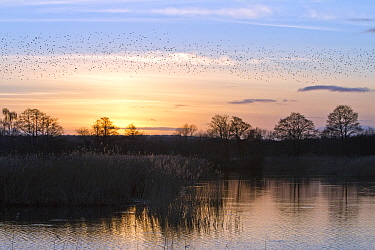Flock of starlings (Sturnus vulgaris) in flight over Ham Wall RSPB Reserve at sunset. Part of the Avalon Marshes Complex which has been created from abandoned peat-extraction works. Near Glastonbury,...