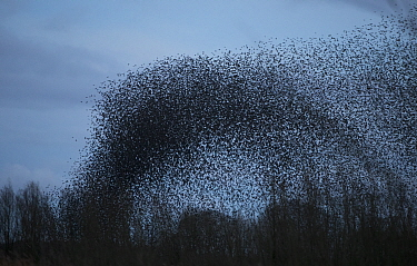 Starling (Sturnus vulgaris) murmuration on winter evening, Derbyshire, England, UK, February.