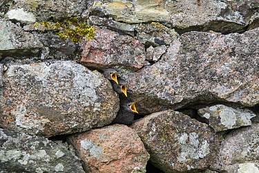 Common starling (Sturnus vulgaris) nestlings peering out from their nest in a stone wall, Iona, Inner Hebrides, Scotland. May.