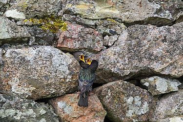 Common starling (Sturnus vulgaris) nestlings begging to be fed at the nest in a stone wall. Iona, Inner Hebrides, Scotland. May.