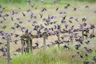 Juvenile Starlings (Sturnus vulgaris) in post breeding flock, Cley, Norfolk, UK, June.