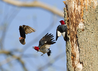 Red-headed woodpeckers (Melanerpes erythrocephalus), pair fighting with European Starling (Sturnus vulgaris) that is trying to take over the woodpeckers' nest hole, Montezuma National Wildlife Refuge,...