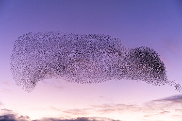 Common starling (Sturnus vulgaris) murmuration, flock gathering in evening before landing at winter roost. The Netherlands. February.