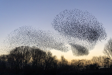 Common starling (Sturnus vulgaris) murmuration, flock gathering above trees before landing at winter roost. The Netherlands. February 2020.