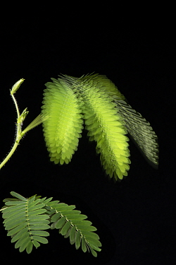 Sensitive plant (Mimosa pudica) leaves. Stroboscopic image showing collapse of stem following stimulation. Native to South and Central America.