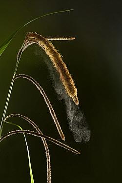 Pendulous sedge (Carex pendula) discharging pollen in breeze. Studio shot. Specimen from Surrey, England, UK. April.