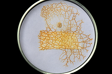 Slime mould (Cribraria sp) growing on filter paper in petri dish.