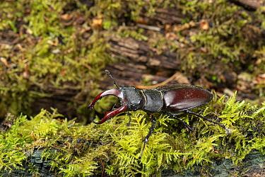 Stag beetle (Lucanus cervus) male on moss covered log. Surrey, England, UK. June.