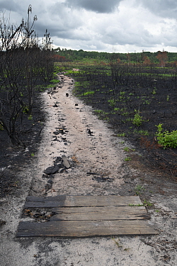 Burnt boardwalk through heathland two weeks after wildfire, some regrowth visible. Thursley National Nature Reserve, Surrey, England, UK. July 2020. Photo stacked image.