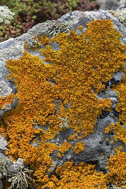 Seashore lichen (Xanthoria parietina) on rock. Cornwall, England, UK. July.