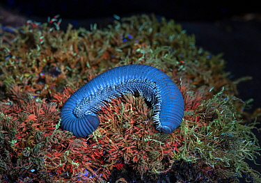 Giant African pink-footed millipede (Archispirostreptus gigas) on moss, fluorescing under UV light. Captive, occuring in Eastern Africa and Southern Arabia. Sequence 2/2.