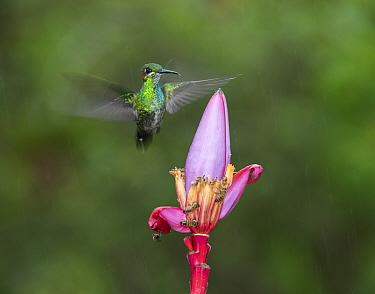 Green-crowned brilliant hummingbird (Heliodoxa jacula) hovering beside flower. Costa Rica.