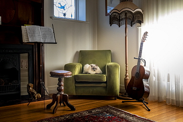 Portrait of male domestic cat (Felis catus), ragdoll breed, blue point, named Shiloh resting on chair in a music room. Brighton, Victoria, Australia. May,