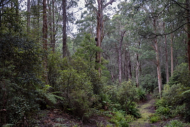 Forest that was due to be logged until conservation groups found a high density of Greater gliders (Petauroides volans) there, and government put a halt to the logging (for now). ??Trees in this fore...