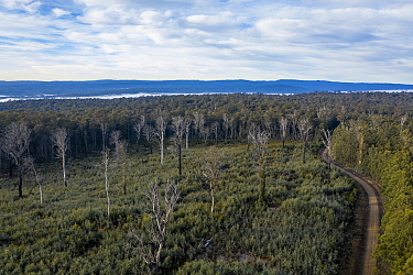 Logged area of native forest in the Errinundra plateau (East Gippsland, Victoria, Australia), with inappropriate regrowth occurring i.e. Acacia instead of Eucalyptus.  This logged area is where great...