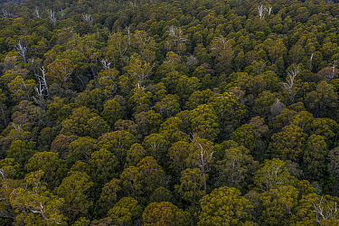 Canopy view of forest that was due to be logged until conservation groups found a high density of Greater gliders (Petauroides volans) there, and government put a halt to the logging (for now). ??Tre...