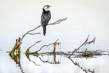 Little pied cormorant (Microcarbo melanoleucos) perched on branch protruding out of water. Eden NSW, Australia. June