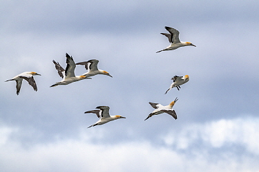 Australasian gannets (Morus serrator) in flight on a cloudy day. Two squawking at each other. Sandringham, Victoria, Australia