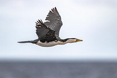 Little pied cormorant (Microcarbo melanoleucos) in flight. Sandringham, Victoria, Australia.