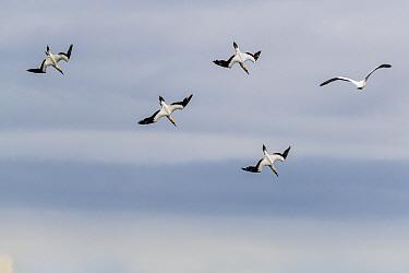 Australasian gannets (Morus serrator) diving, Sandringham, Victoria, Australia.