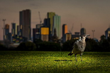 Australian magpie (Cracticus tibicen), on the ground, with the Melbourne city skyline at sunset in the background. Princess Park, Carlton, Victoria, Australia. July.