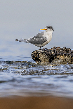Crested tern (Thalasseus bergii) standing on intertidal rocks, water in the background. Port Philip Bay shoreline, Sandringham, Victoria, Australia.