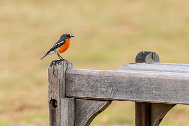 Flame robin (Petroica phoenicea) perched on a park bench. Elwood beach. Elwood, Victoria, Australia.