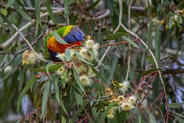 Rainbow lorikeet (Trichoglossus moluccanus) feeding from the flower of a eucalyptus tree.? Gardenvale, Victoria, Australia.?May
